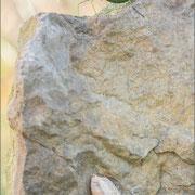 Oothek der Gottesanbeterin (Mantis religiosa)