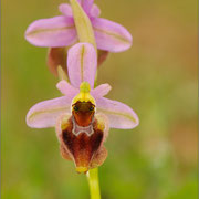 Ophrys morisii X Ophrys neglecta), Sardinien 2009
