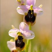 Wespenragwurz (Ophrys neglecta), Sardinien 2009