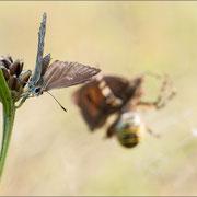 Silbergrüner Bläuling mit Wespenspinne und Ochsenauge als Beute