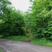 Hohe Espen und Eichen als Ansitzplätze mit Waldweg