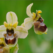 Ophrys x sommeri, Ophrys bombyliflora x Ophrys thendinifera. Sardiníen 2009