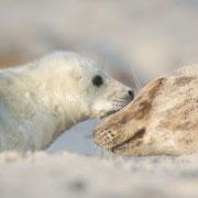 Kegelrobben auf Helgoland (1.2014)