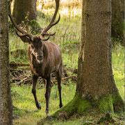 Platzhirsch (12Ender), Thüringer Wald 2014