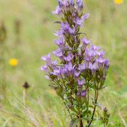 Deutscher Enzian (Gentiana germanica), Thüringen 9.2012