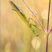 grün gefärbtes Männchen