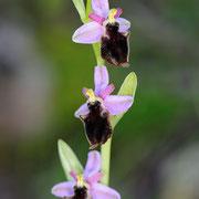 Panatta-Ragwurz (Ophrys panattensis), Sardinien 2009