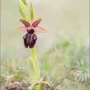 Ophrys incubacea ?, Premantura