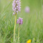 Orchis simia und Orchis purpureaxsimia