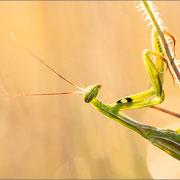 grün gefärbtes Männchen, gut sind die langen Fühler zu erkennen