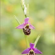Ophrys zinsmeisteri, Kavran