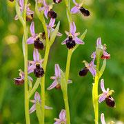 Mori´s Ragwurz (Ophrys morisii), Sardinien 2009