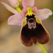 Chesterman´s Ragwurz (Ophrys chestermanni), Sardinien 2009