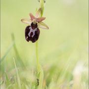 Ophrys incubaea ?, Premantura