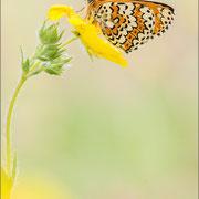 Wegerich-Scheckenfalter (M. cinxia)