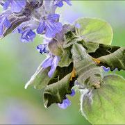 Nachtkerzenschwärmer (Proserpinus proserpina), 2012