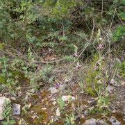 """Ophrys holoserica s.l. zwischen Genava und Karvan. O.unthchjii, O.holoserica und O. zinsmeisteri gehen hier """"durcheinander""""."""