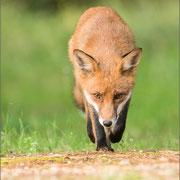 junger Rotfuchs (Vulpes vulpes)