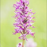Orchis purpureaxsimia,Paz