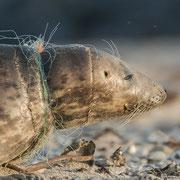 Kegelrobbe gefangen im Fischnetz