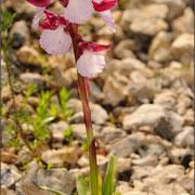 Schmetterlingsknabenkraut (Anacamptis palilionacea), Sardinien 2009