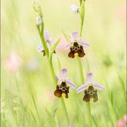 Ophrys holoserica, Balem