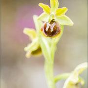 Ophrys araneola s.l., Karvan