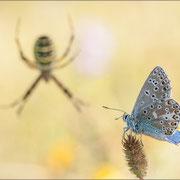 Himmelblauer Bläuling vor dem Netz einer Wespenspinne