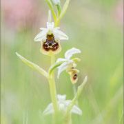 Ophrys untchjii, Balem