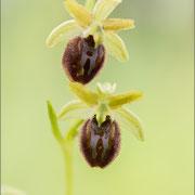 Ophrys sphegodes s.l., Rovinji