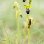 Ophrys sulcata, Balem