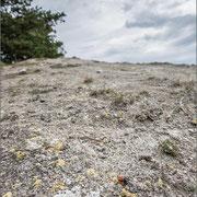 Rote Röhrenspinne im Biotop (Thüringen 2013)