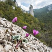 Alpenveilchen (Cyclamen)