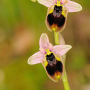 Norman´s Ragwurz (Ophrys normanni), Sardinien 2009