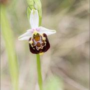 Ophrys untchjii, Karvan