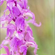 Orchis mascula ssp speciosa, Gologorica