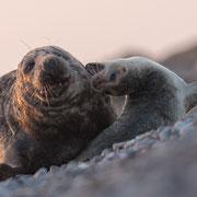 Junger Seehund verteidigt sich gegen einen Kegelrobben Bullen