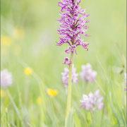 Orchis purpureaxsimia, Paz