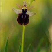 Schwarze Ragwurz (Ophrys incubacea), Sinis-Halbinsel, Sardinien 2009