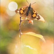 Zürgelbaumfalter (Libythes celtis)