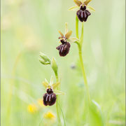 Ophrys incubacea, Paz