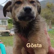 1 Tier in Rumänien durch Namenspatenschaft Gösta, Pro Dog Romania eV