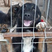 1 Tier in Rumänien durch Namenspatenschaft Centurion, Pro Dog Romania eV