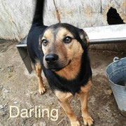 1 Tier in Rumänien durch Namenspatenschaft Darling, Pro Dog Romania eV