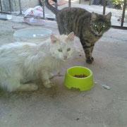 Weißer Kater, Antalya/Türkei, Tierhilfe Antalya eV
