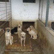 4 Hunde im Tierheim BUCOV, Poliesti, Rumänien, Pro Dog Romania eV