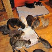 2 Kater, 1 Katze bei Svetlana in Sibirien, Tierhilfe Bluemoon eV