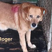1 Tier in Rumänien durch Namenspatenschaft Roger, Pro Dog Romania eV