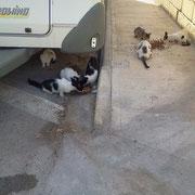 1 Katze, 2 Kater Katzenhilfe Olli eV für Malta