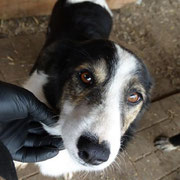 1 Tier in Rumänien durch Namenspatenschaft Shari, Pro Dog Romania eV
